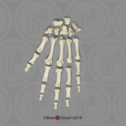 Human Female European Hand, Disarticulated