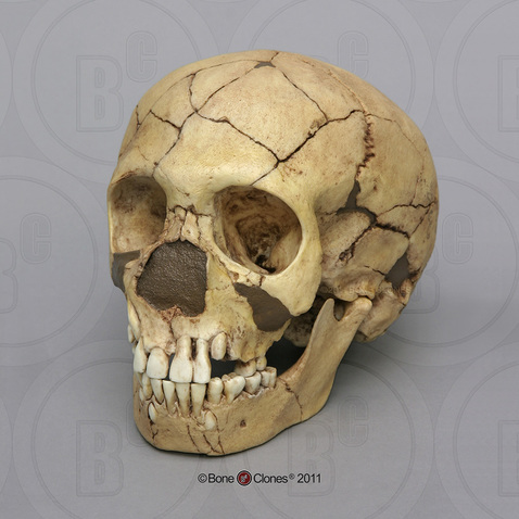 Homo neanderthalensis (Child) Skull Teshik-Tash - Bone ... Homo Sapiens Neanderthalensis Skull