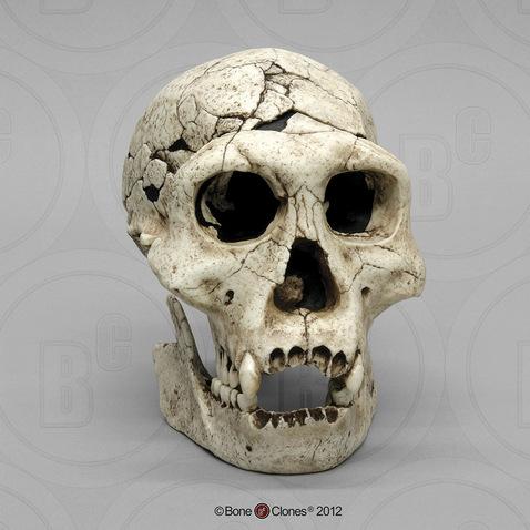Image result for homo erectus skull