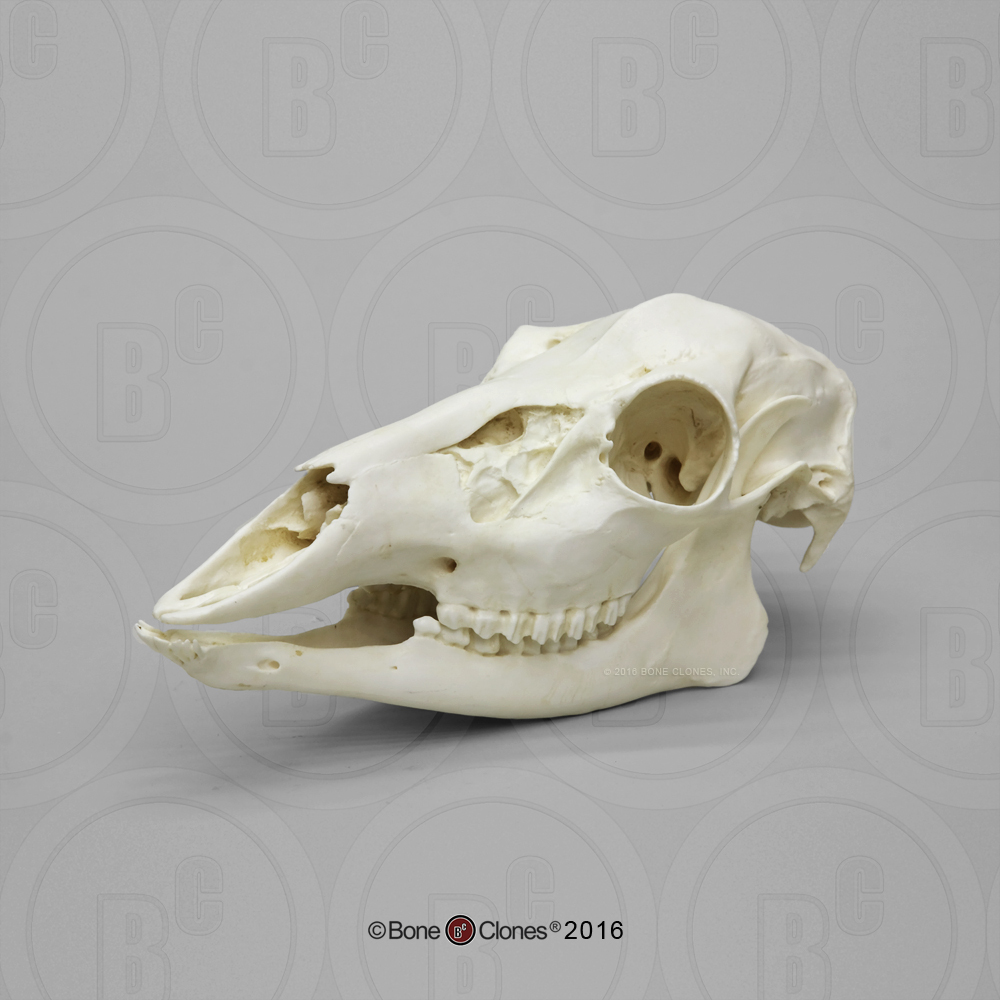 White-tailed Deer Doe Skull - Bone Clones, Inc. - Osteological ...