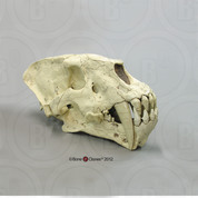 Sabertooth Cat,  Homotherium cf. crenatidens  Skull