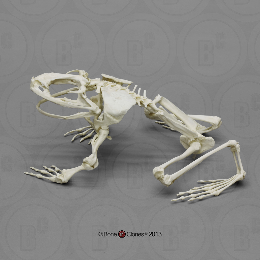 Articulated Goliath Frog Skeleton - Bone Clones, Inc. - Osteological ...