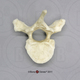 Human Male Asian Robust Thoracic Vertebra, Single