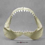 Great White Great White Shark Jaw