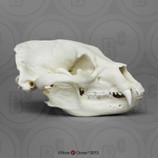 Polar Bear Skull - Bone Clones, Inc  - Osteological