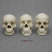Human Male Skulls: African, Asian, and European