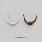 Comparative Set Hyoids Neanderthal and Modern Human