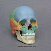 Magnetic Osteological Teaching Skull, 22-piece, color