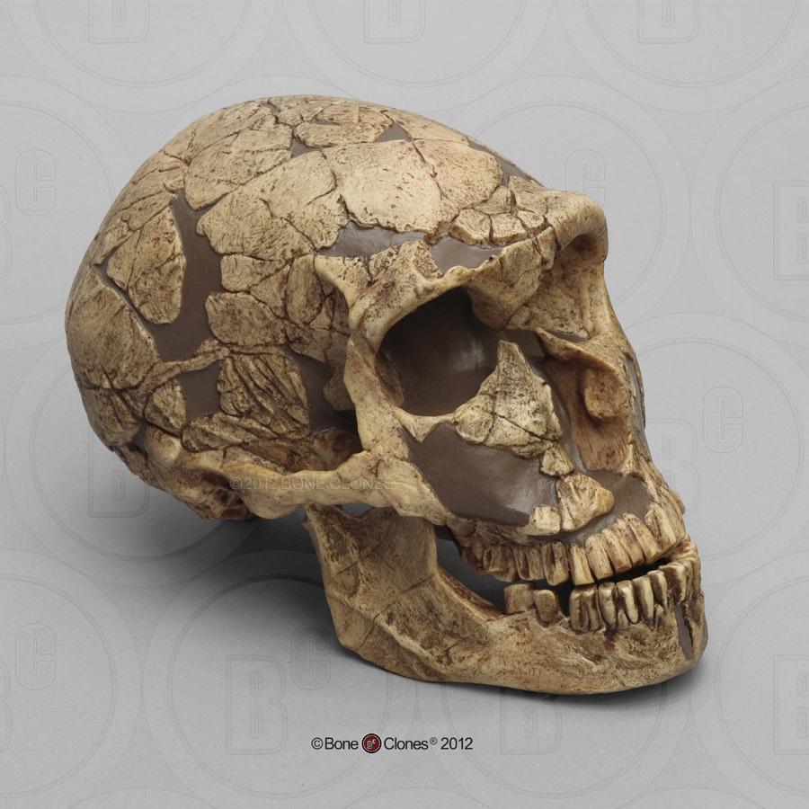 Homo neanderthalensis Skull La Ferrassie 1 - Bone Clones ... Homo Sapiens Neanderthalensis Skull