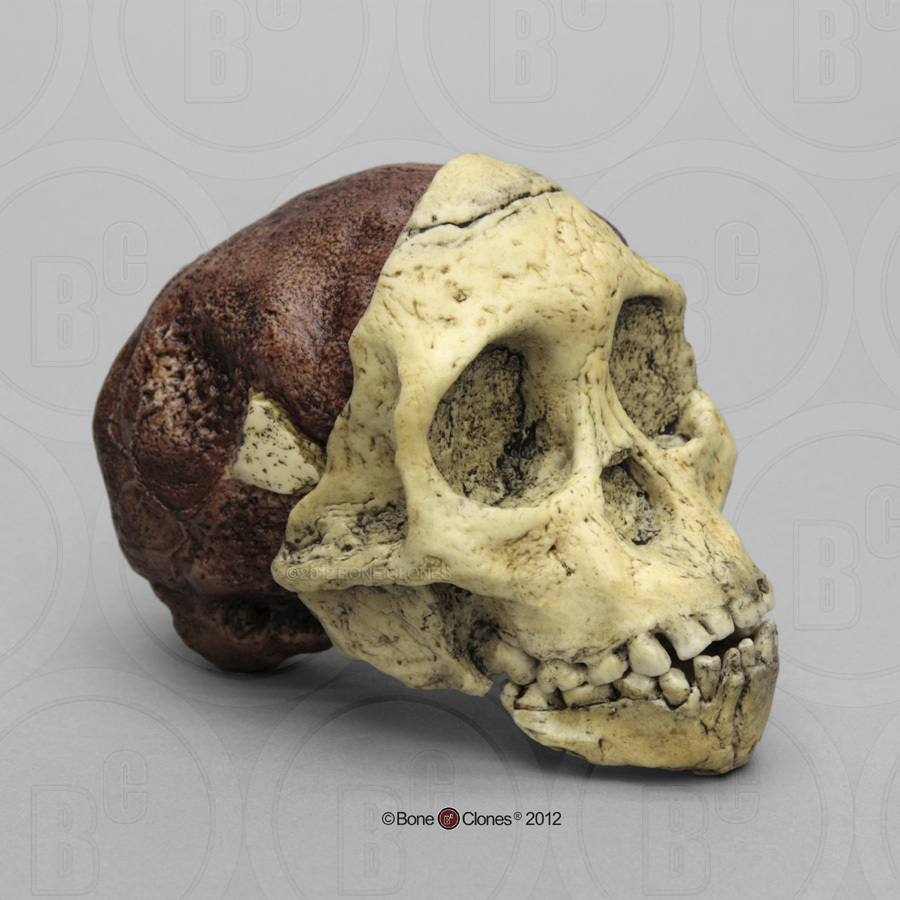australopithecus fossil Though she was a new species, lucy was not the first australopithecus found that was the taung child, the fossilised skull of a young child who lived about 28 million years ago in taung, south.