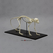 Vervet Monkey Skeleton, Articulated