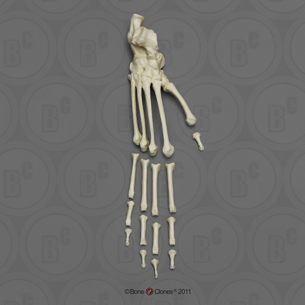 New World Monkey Postcranial Elements Bone Clones Inc