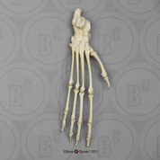 Black Spider Monkey Foot, Articulated Rigid