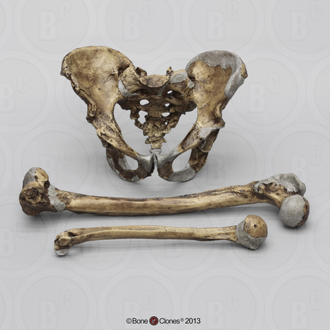 Neanderthal Pelvis Femur and Humerus Set