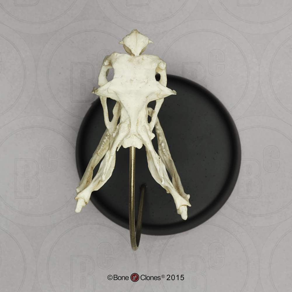 King Cobra Skull and Base - Bone Clones, Inc  - Osteological