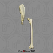 Black Spider Monkey Innominate & Femur Set