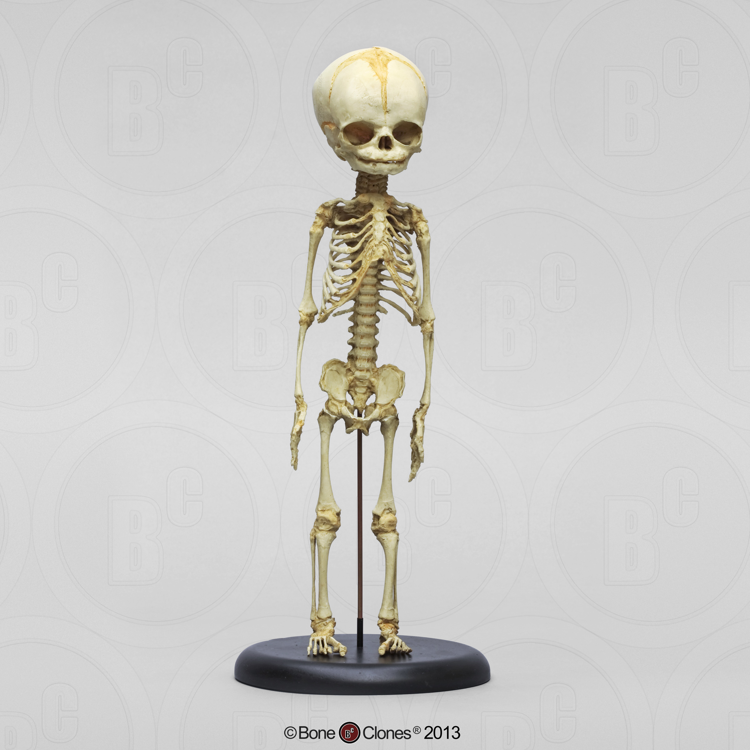 chimpanzee fetal skull - bone clones, inc. - osteological, Skeleton