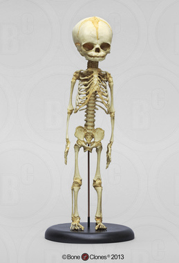 Human Fetal Skeleton 32 Weeks