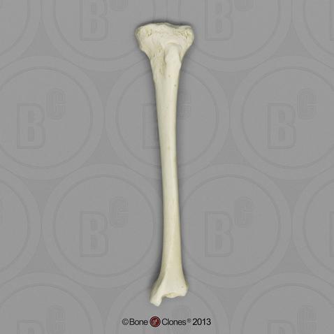 Human Female Asian Tibia Bone Clones Inc Osteological
