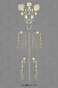 Disarticulated Human Fetal Skeleton Full Term