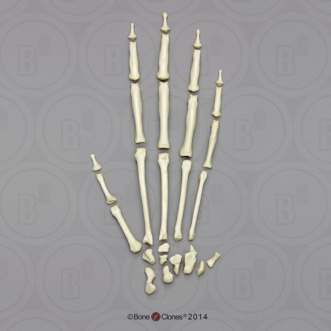 Siamang Hand, Disarticulated