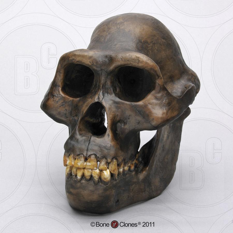 Australopithecus afarensis - Wikipedia