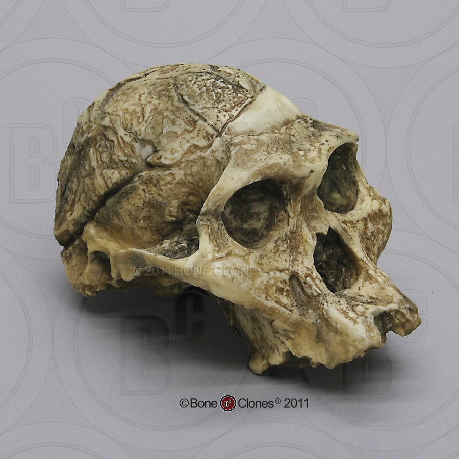 Australopithecus africanus taung child dating 5