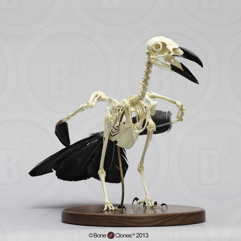 Articulated Raven Skeleton Bone Clones Inc Osteological