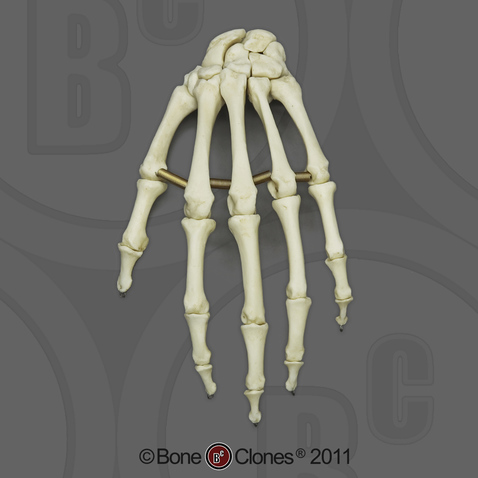 Human Adult Male Hand, articulated, Premium flexible