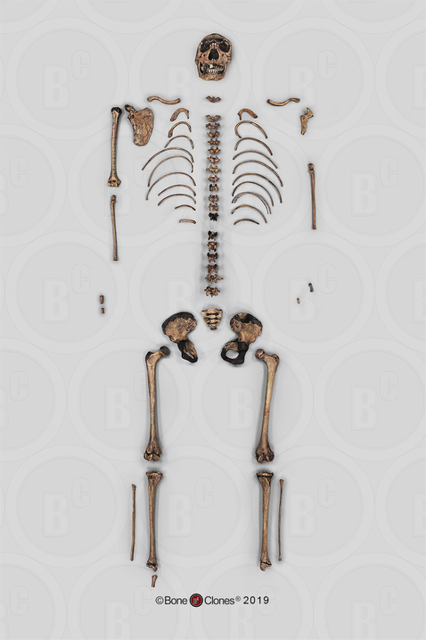 "Disarticulated Homo ergaster Skeleton, KNM-WT 15000 ""Nariokotome Boy"""
