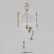 "Disarticulated Australopithecus afarensis-""Lucy"", A.L.288-1-Skeleton"