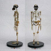 "Articulated ""Lucy"" Skeleton"