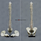 Human Male Vertebral Column with Magnetic Pelvis