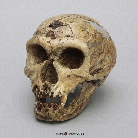 Neanderthal La Chapelle Aux Saints Homo neanderthalensis ...