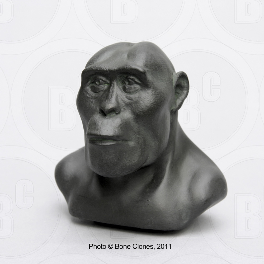 Set of 7 Sculpted Hominid Busts (1:4 scale) by Atelier Daynes - Bone