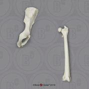 Mandrill Baboon Innominate & Femur Set
