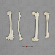 Male Chimpanzee Intermembral Set