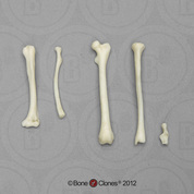 Common Marmoset Intermembral Set with Calcaneus