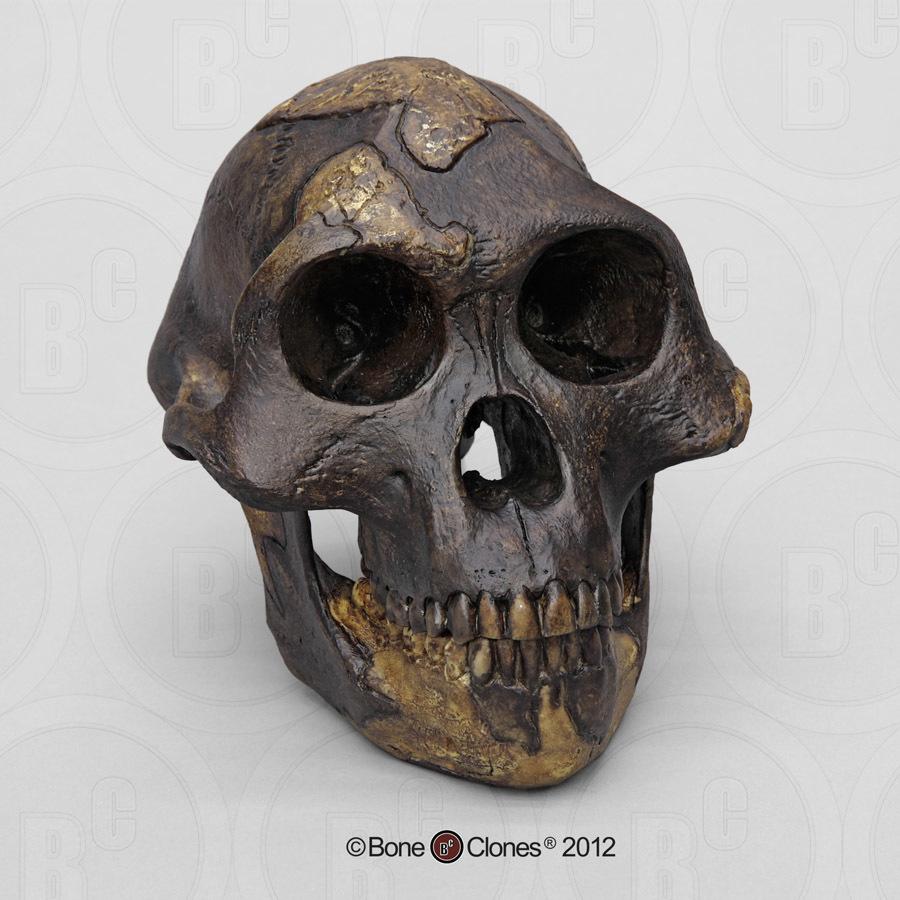 Chimpanzee Taxonomy Human Origins