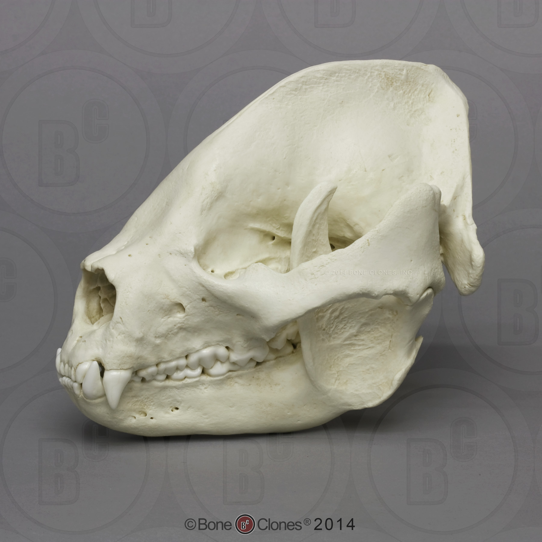 Bear Skulls - Bone Clones, Inc. - Osteological Reproductions