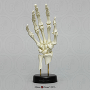 Skeletal Hand Printed from CT Scan