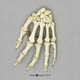Human Female Achondroplasia Dwarf Hand, Articulated, Premium Flexible