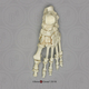 Human Female Achondroplasia Dwarf Foot, Articulated Rigid