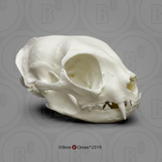 Economy Common House Cat Skull