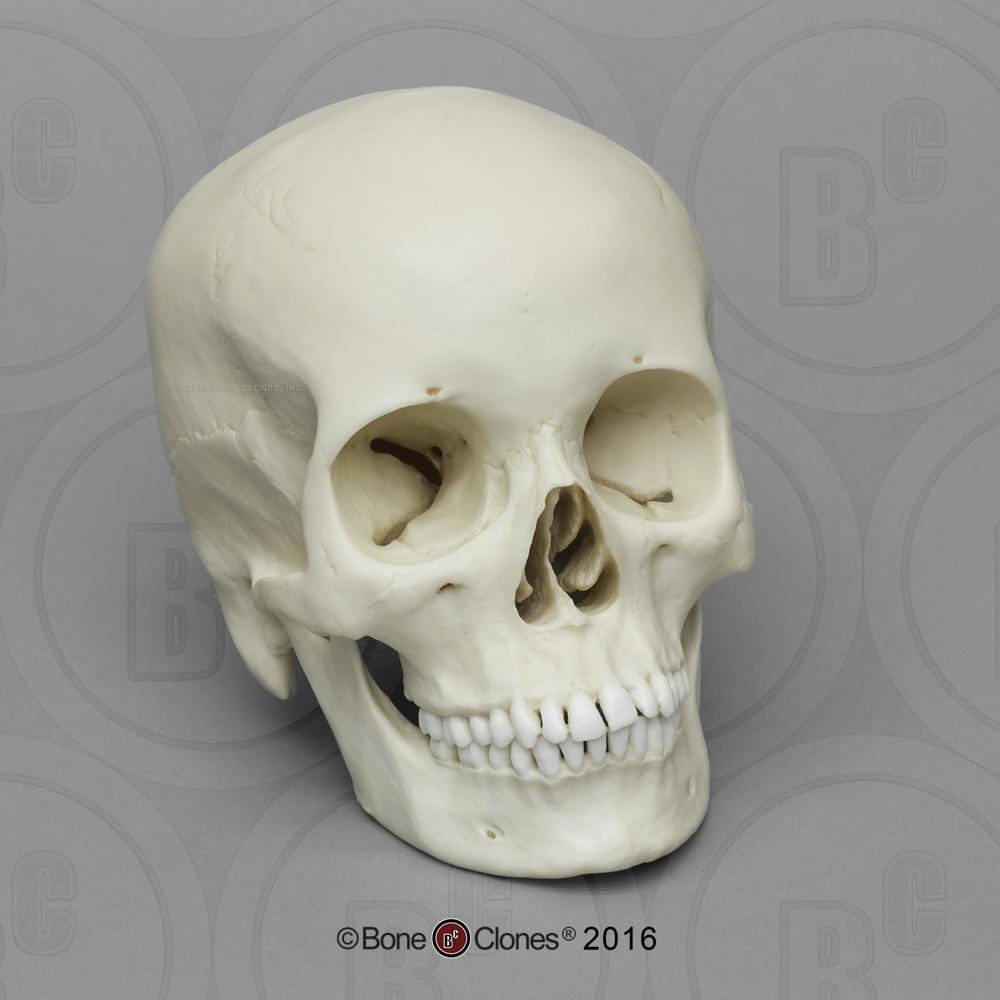 Human Female Asian Skull - Bone Clones, Inc ...