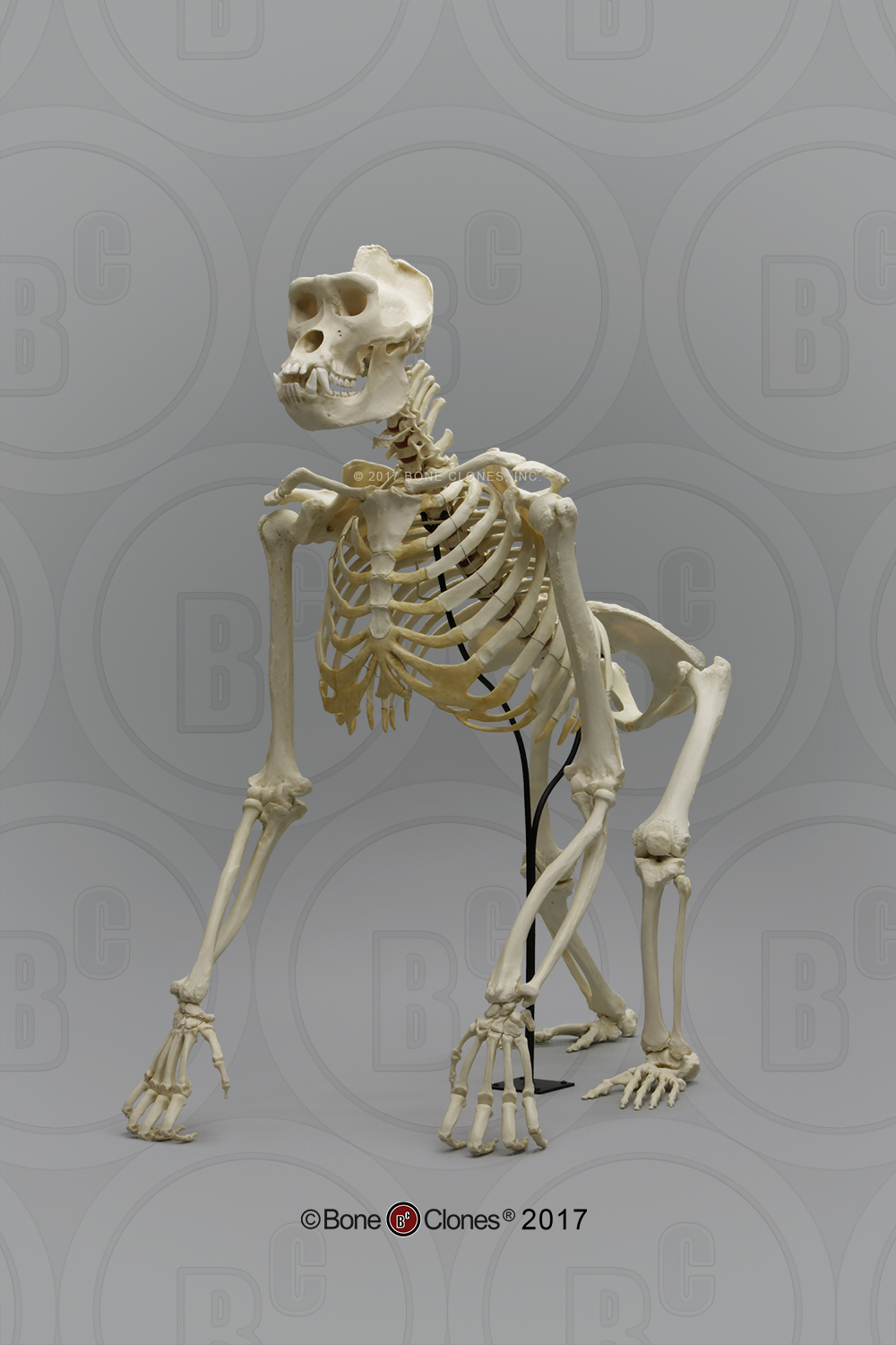 Articulated Gorilla Skeleton - Bone Clones, Inc ...