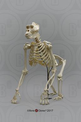 Primate Skeletons - Bone Clones, Inc  - Osteological