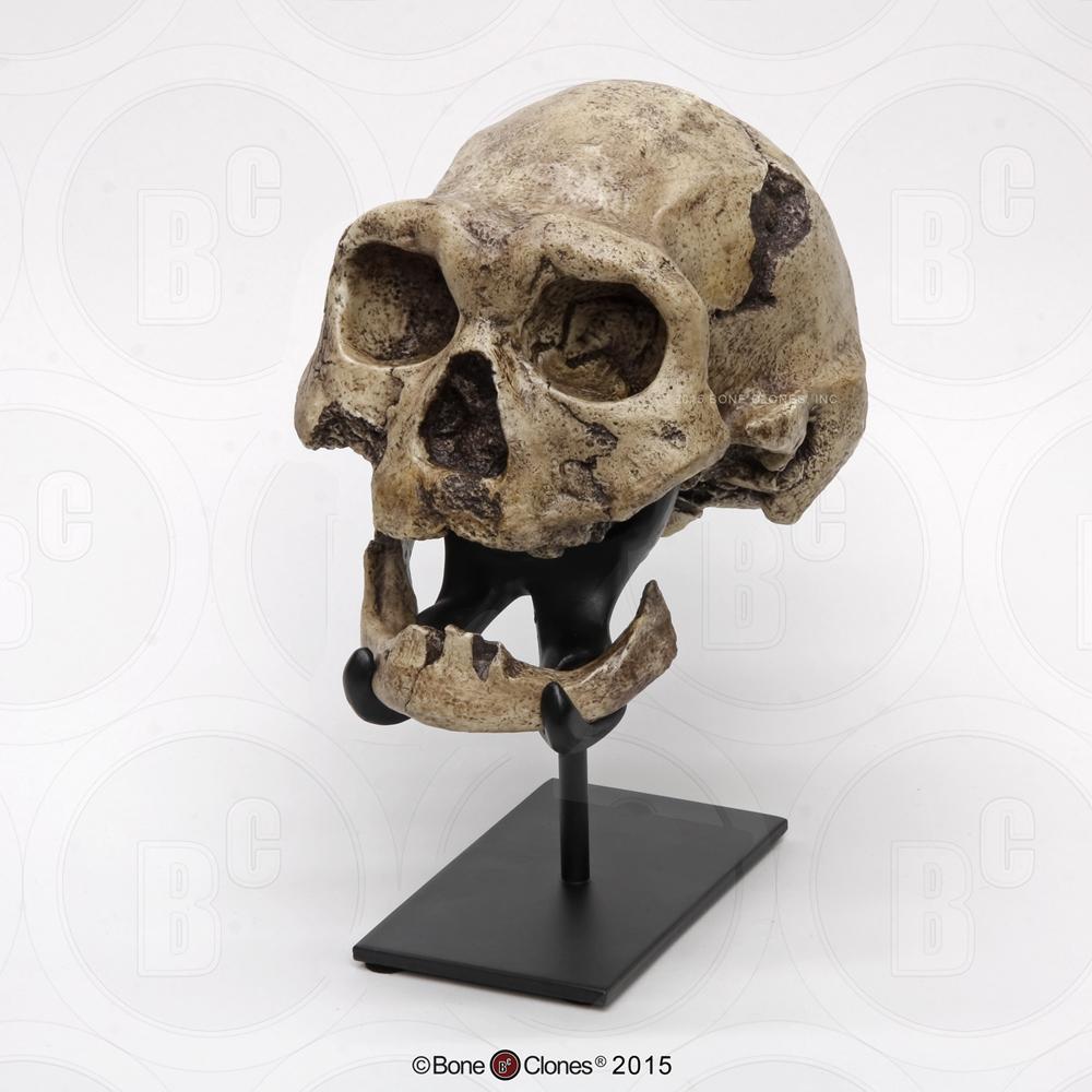 Dmanisi Homo erectus Skull 4 - Bone Clones, Inc ...