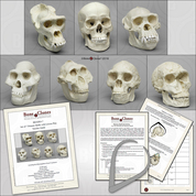 Set of 7 Primate Skulls with Lesson Plan