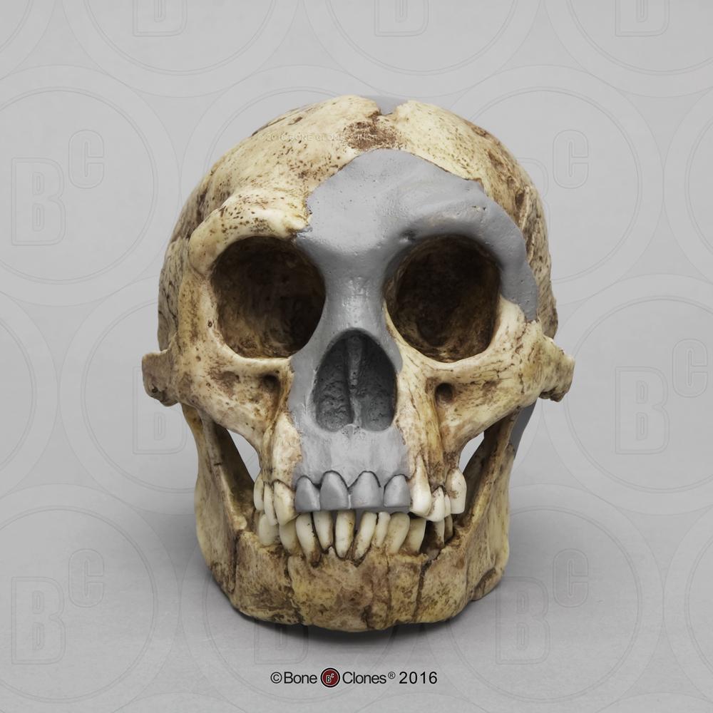 Homo floresiensis Skull (Flores Skull LB1) - Bone Clones ...